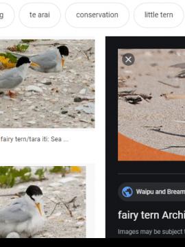 NZ Fairy Tern